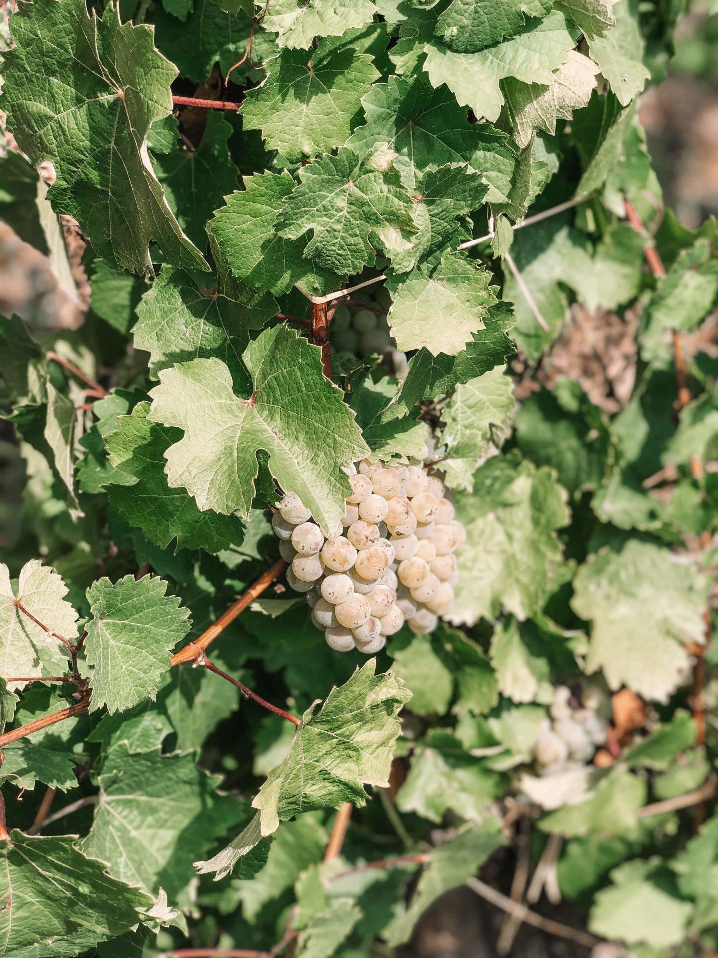 vendanges moselle allemagne vallée vignoble vin bio natural biodynamie expérience récolte raison